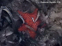 63 Oreaster reticulatus (Cushion Sea Star)