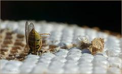 Een wesp op zoek, naar wat ja eigenlijk...         Het is een gedeelte van een (door de bestrijdingsdienst weggehaald) wespennest vol met eitjes en larven... (+ 3x PiP)