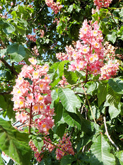 Red blooming Horse Chestnuts. ©UdoSm