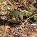 Day 7, Ruby-crowned Kinglet, Tadoussac
