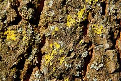 Pflaumenbaum (6 PiPs)