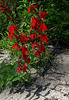 cardinal flower oka 20160820 132911