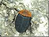 Oiceoptoma thoracicum