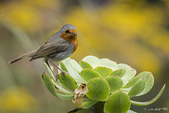 Petirrojo (Erithacus rubecula marionae )
