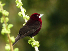 Silver-beaked Tanager female, Trinidad