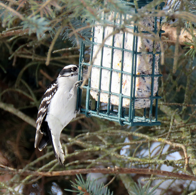 Finally, a downy woodpecker is coming to my feeder.