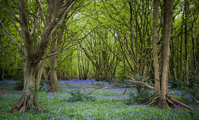 April 25th: Bluebells