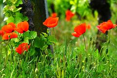 Im Weinberg blüht schon der Mohn - The poppy is already blooming in the vineyard