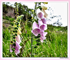 Foxgloves Growing Wild.