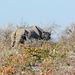 Namibia, Skinny and Hungry Rhino in Etosha National Park