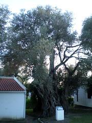 Bimillenary olive-tree.
