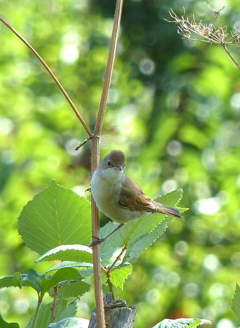 Fauvette grisette  (Sylvia communis)  (Common Whitethroat)