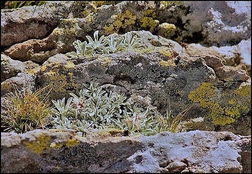 antennaria dioica- Mézenc (3)