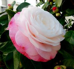 C like Camelia / Camellia