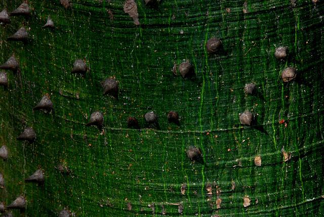 Dornenlandschaft auf der Baumrinde