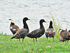 Gaggle of Geese.