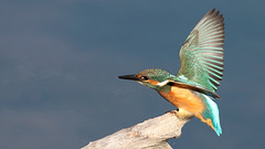 Martin pêcheur juvénile - Alcedo atthis - Common Kingfisher