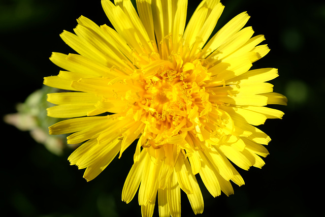 Dandelions are always out first