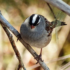 Day 7, White-crowned Sparrow, Tadoussac