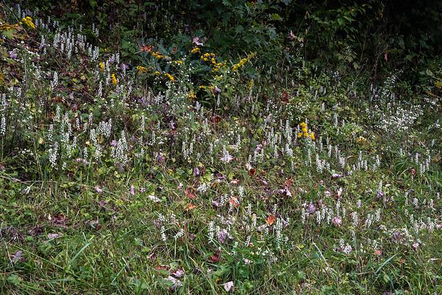 Spiranthes cernua (Nodding Ladies'-tresses orchid)!!!