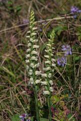 Spiranthes ochroleuca (Yellow Ladies'-tresses orchid)