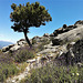 A heroic, if lonely, juniper tree.