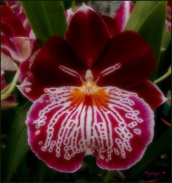 Belle journée A tous !........Orchidée MILTONIOPSIS