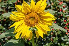 20160827 2265VRAw [D~RI] Sonnenblume, Rinteln