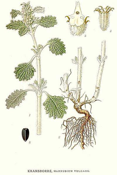 400px-573 Marrubium vulgare