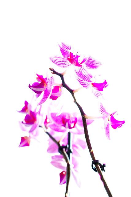 Widmung in Pink