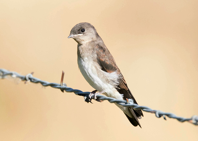 Immature Northern Rough-winged Swallow
