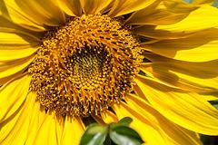 20160827 2266VRAw [D~RI] Sonnenblume, Rinteln
