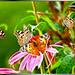 A swarm of Butterflies....  ©UdoSm