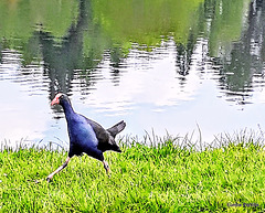 Pukeko At Hamilton Lake