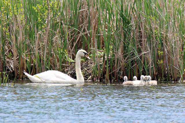 Swan family (Explored)