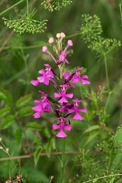 Platanthera peramoena (Purple Fringeless orchid)
