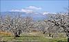 Le Mont Ventoux depuis les environs de Mormoiron (84) 28 mars 2012.