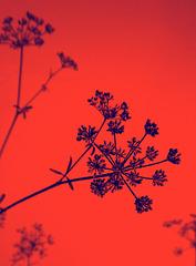 rossoblu
