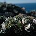 Astragalus tragacantha, Alquitira-do-Algarve