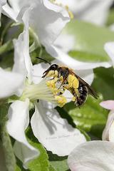 Biene im Apfelbaum