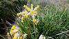 Cowslip, Primula veris.