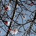 fleurs, abricotier