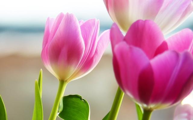 photo tulipe -2