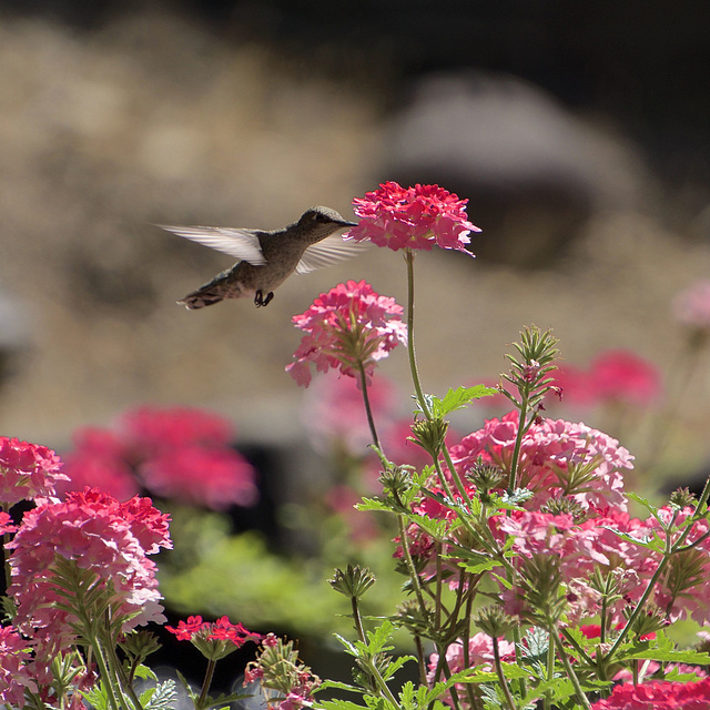 Hummingbird and Verbena