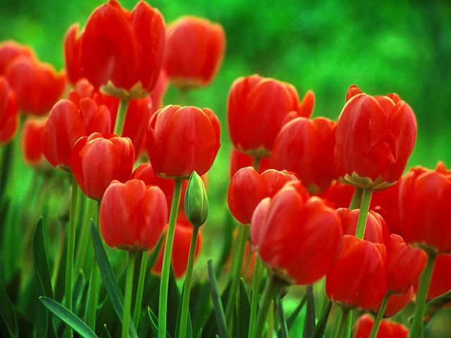 photo tulipe-1