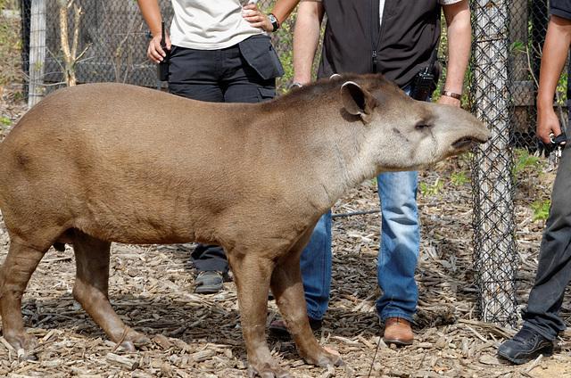 Le tapir, un animal de compagnie ?