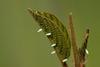 Brimstone (Gonepteryx rhamni) butterfly eggs