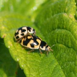 14 Spotted Ladybird (Propylea quatuordecimpunctata) Pair number 2 making more Ladybirds Jn6