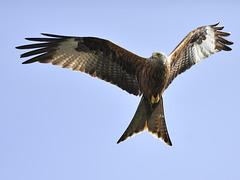 Red Kite ~~~ Milvus Milvus