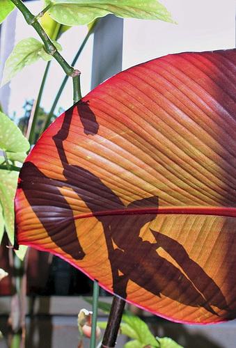 Chinoiserie de Begonia
